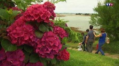 L'hortensia, LA fleur de l'été en Bretagne