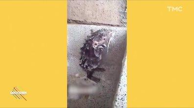 L'image du jour de Martin Weill : un rat qui se lave comme un humain