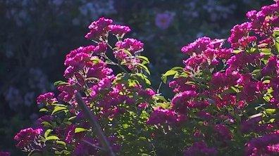 La Mulatière, le paradis des roses aux portes de Lyon