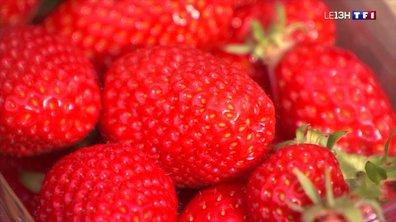 La récolte de fraises en Dordogne