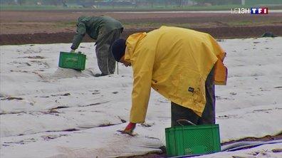 La récolte des asperges est lancée en Alsace