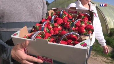 La récolte des fraises commence à Carpentras
