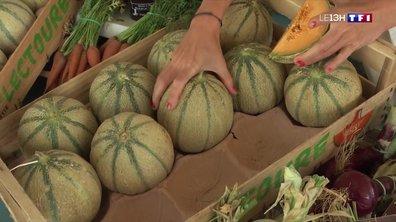 La récolte des melons de Lectoure commence