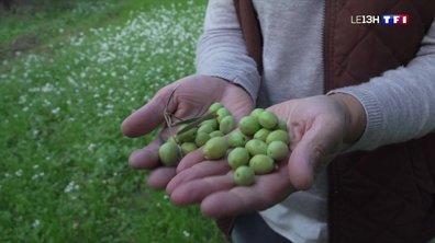 La récolte des olives débute à Maussane-les-Alpilles