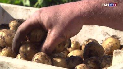 La récolte des pommes de terre grenailles de Noirmoutier