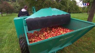 La récolte des pommes pour fabriquer le cidre débute dans le Calvados