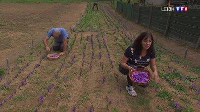 La récolte du safran a débuté dans les Hautes-Pyrénées