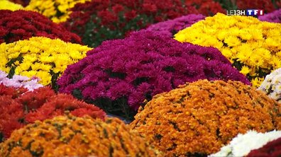 Le chrysanthème, le symbole de la Toussaint