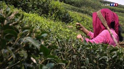 Le Darjeeling, l'or vert de l'Himalaya