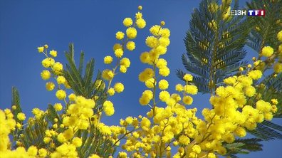 Le mimosa, en pleine période de floraison sur la Côte d'Azur