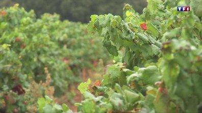 Le retour de la pluie fait le bonheur des producteurs à Montpellier