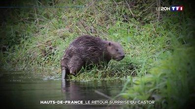 Le retour surprise du castor dans les Hauts-de-France