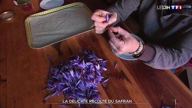 Le safran, une culture qui se développe en France