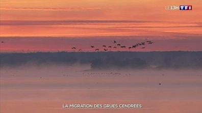 Le spectacle de la migration des grues cendrées en Champagne-Ardenne