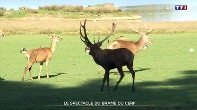 Le spectacle du brame du cerf au parc animalier de Sainte-Croix en Moselle