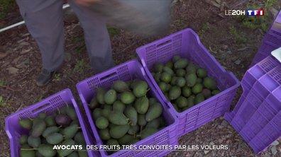 Les avocats : des fruits très convoités par les voleurs en Espagne