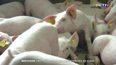 Les Chinois raffolent des cochons français