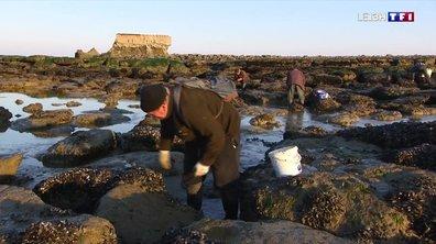 Les grandes marées, une aubaine pour les pêcheurs de moules