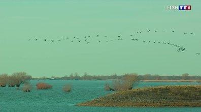 Les grues cendrées au lac du Der