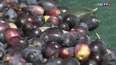 Les olives niçoises, un savoir-faire ancestral