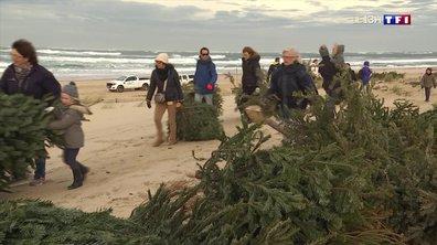 Les sapins de Noël recyclés pour ralentir l'érosion des dunes à Arcachon