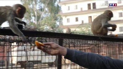 Les singes s'emparent des rues et des maisons à New Delhi