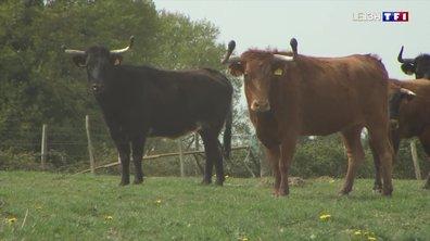 Portrait d'un éleveur de vaches landaises