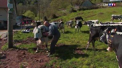Les vaches vosgiennes à l'heure de la transhumance