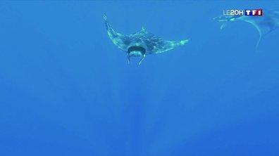 Méditerranée : à la rencontre du diable des mers