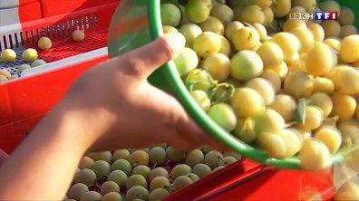 Meuse : la récolte des mirabelles a commencé