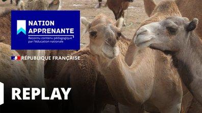 Curieuse de nature - A la découverte de la vie frugale du Dromadaire au Maroc (Maroc)