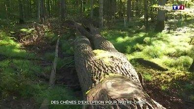 Notre-Dame : à la recherche des chênes pour la reconstruction