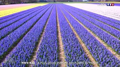 Pays-Bas : au cœur de la plus grande fabrique de fleurs du monde