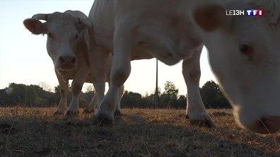 Sécheresse : les agriculteurs en pénurie de fourrage pour les bêtes