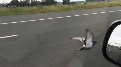 Insolite : Ce pigeon vole pendant 20 kilomètres sur l'autoroute !
