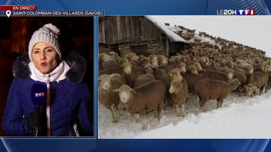 Plus de 6 000 moutons et une centaine de vaches piégés par la neige en Savoie