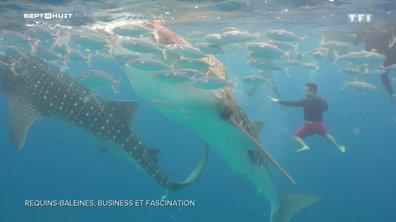 Pourquoi les requins-baleines suscitent-ils la fascination des touristes ?