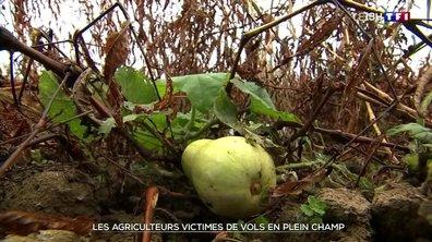 Près de 4 000 courges volées dans une exploitation bio en Isère