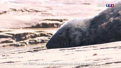 Qui veut la peau des phoques en baie de Somme ?