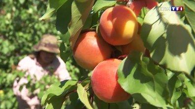 Récolte des abricots : les agriculteurs contraints de se passer des saisonniers étrangers