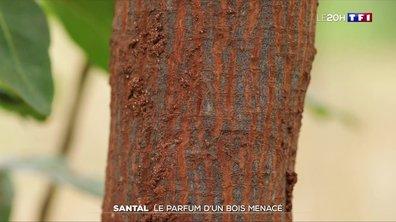 Santal : le parfum d'un arbre menacé d'extinction