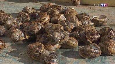 Saveurs de Charente (1/4) : les cagouilles, un classique dont on ne se lasse pas