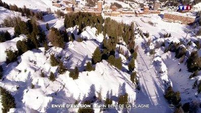 Savoie : le pin cembro, un arbre extraordinaire