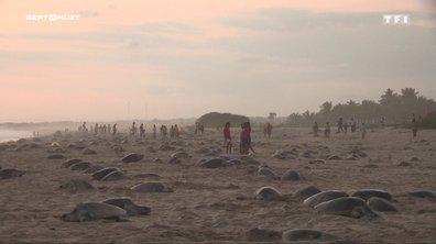 SEPT À HUIT - Le commerce illégal des tortues Golfina du Mexique