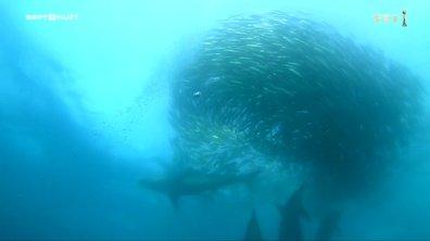 SEPT À HUIT - Le festin des requins