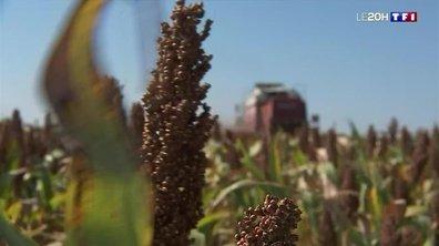 Sorgho : la céréale qui monte en France
