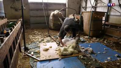Tonte des moutons : où va la laine collectée ?