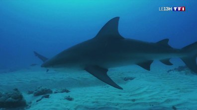 Un documentaire pour dédiaboliser le requin bouledogue