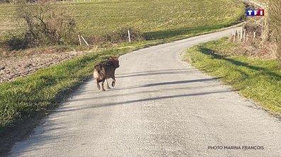 Un loup aperçu en Charente, le premier depuis un siècle