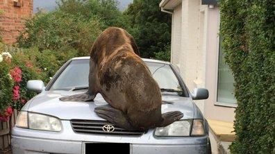 Insolite : En pleine ville, un phoque saute d'une voiture à une autre...